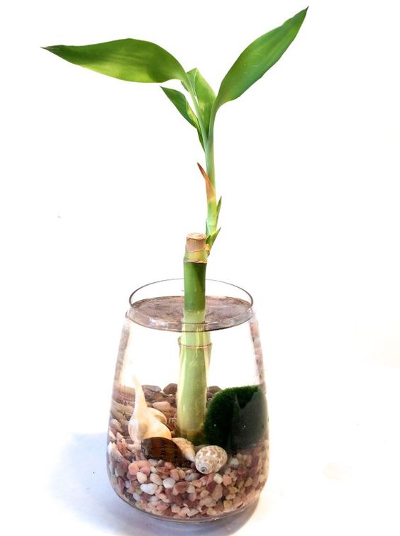 Cuidados del bamb de la suerte errores comunes neea - Tipos de bambu ...